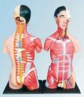 Mô hình nửa cơ thể người