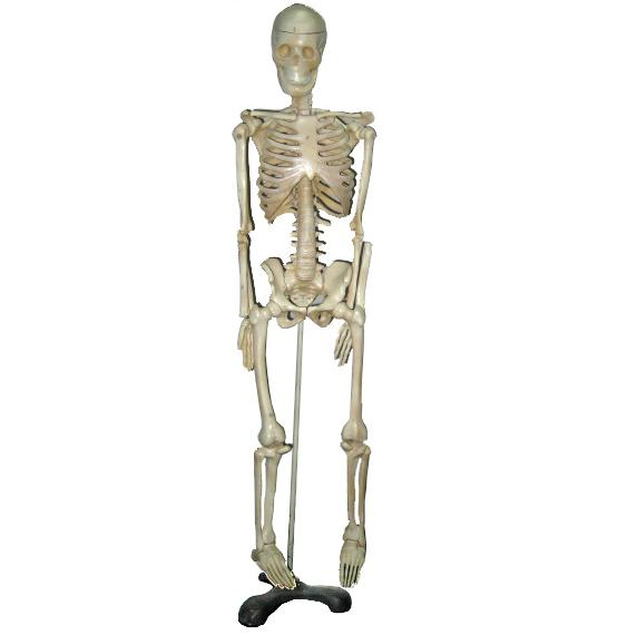 Mô hình bộ xương người MS110