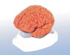Mô hình cấu tạo Đại bán cầu não người