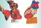Mô hình cấu tạo tim người