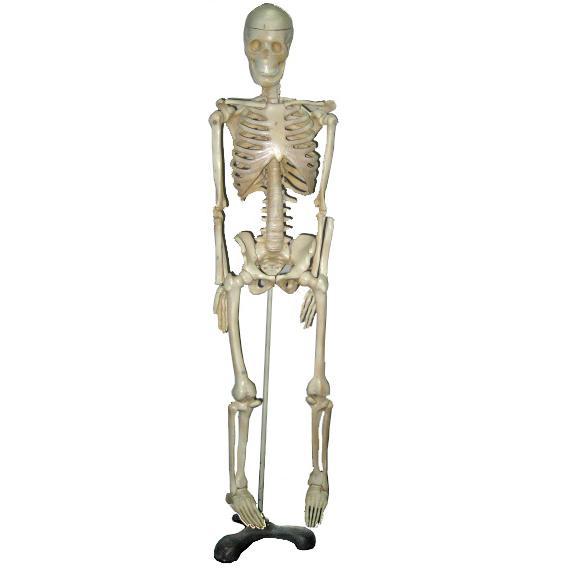 Mô hình bộ xương người kích thước người thật cao 170cm